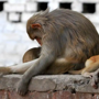 Over 30 monkeys found poisoned to death, stuffed in gunny bags