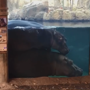 Hippo's 'crazy dismount' from her mom's back will leave you in giggles