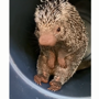 You may fall in love with this porcupine named Rico because of his cuteness