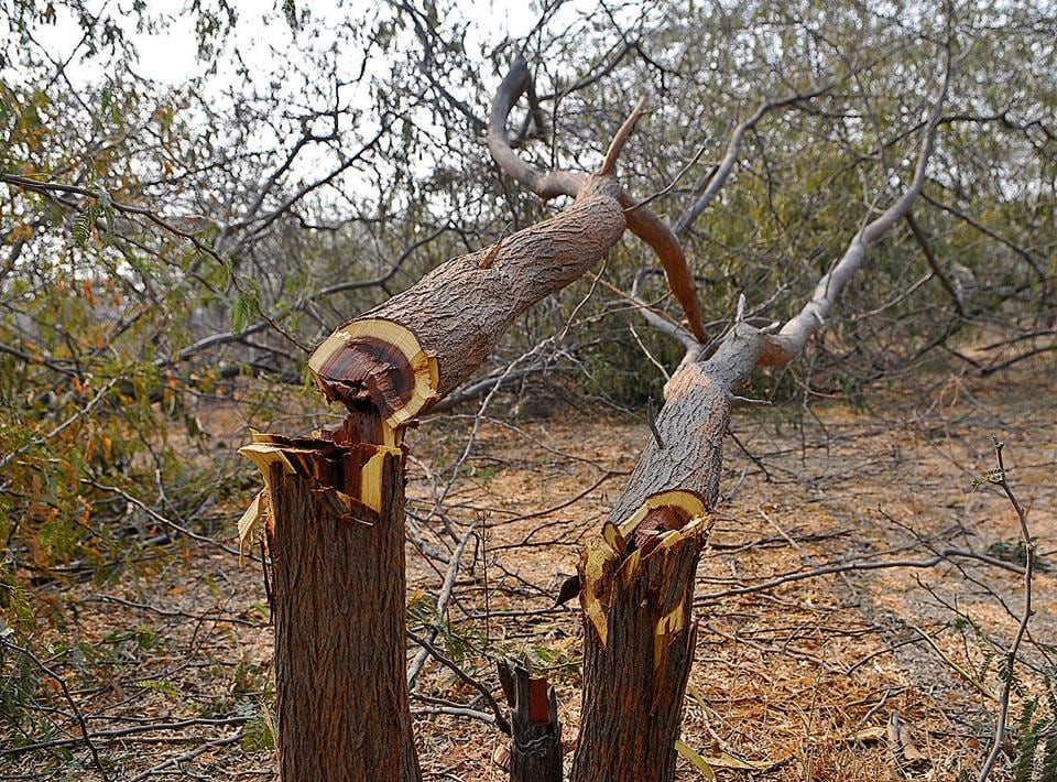 SK Gulati, the additional chief secretary, forest and wildlife, is accused of forcing forest officials to issue tree felling permission at the 52-acre Aravalli land that he declared 'non-forest.'