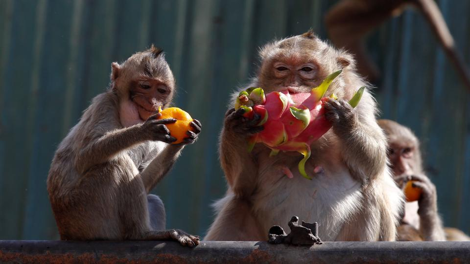 Monkeys eat fruits during the Monkey Buffet Festival, near the Phra Prang Sam Yot temple in Lopburi province. (REUTERS)