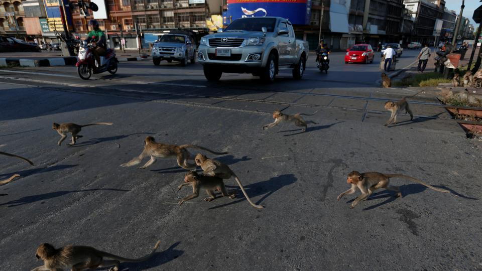 Monkeys run across a street before the Monkey Buffet Festival, in Lopburi province, north of Bangkok, Thailand. (REUTERS)