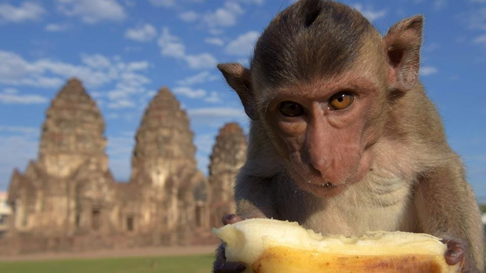 A monkey eats a banana at an ancient temple during the annual