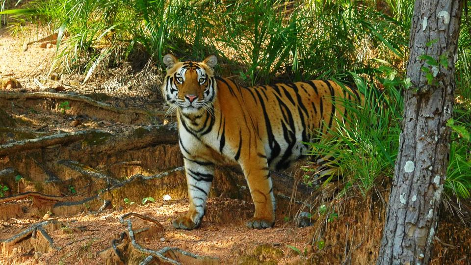 Wildlife activists blame the depleting forest cover in Madhya Pradesh and encroachment in forest areas for rise in incidents of man-animal conflicts.