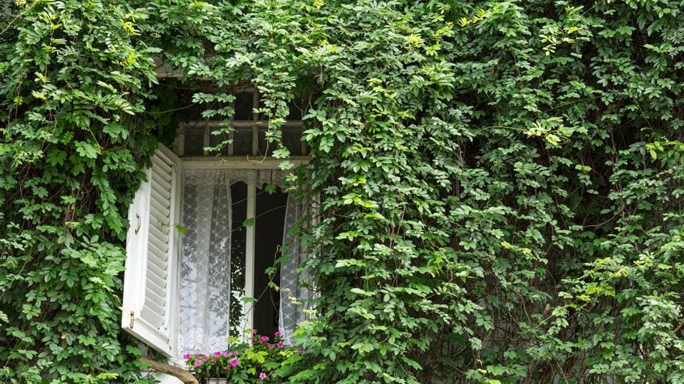 Indoors,Ivy,Bamboo