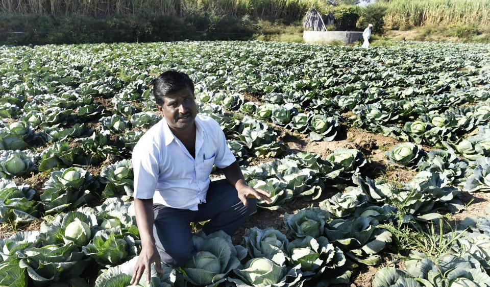 Sanjay Gunjal's one-acre cabbage farm in Khandgaon village in Ahmednagar district fetched him only Rs6,000, less than one-tenth the money he would have made had the cash crunch not hit the economy.