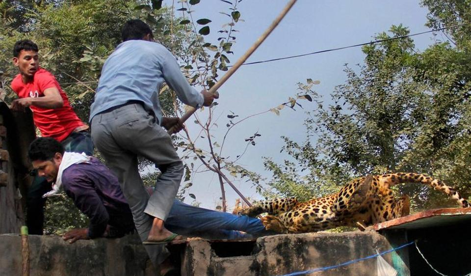 On November 24, a stray leopard was beaten to death by residents of Mandawar village, as it took more than three hours for the forest department to arrange the tranquillizer gun and a cage.
