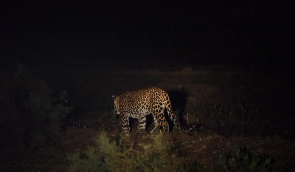 A leopard was spotted at the Yamuna Biodiversity Park in north Delhi on November 22.