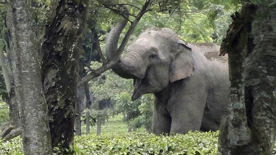 Elephants,Wild elephants raid village,Elephants trample man
