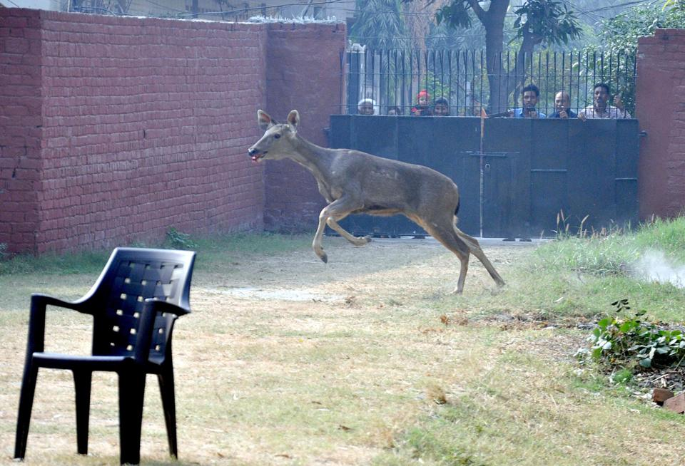 People look on as the deer runs in a church garden in Amritsar on Wednesday. (Sameer Sehgal/HT)