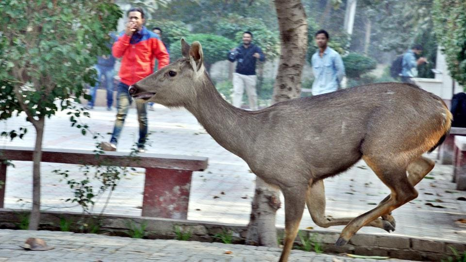 A deer that strayed into a church at Court Road in Amritsar on Wednesday. (Sameer Sehgal/HT)