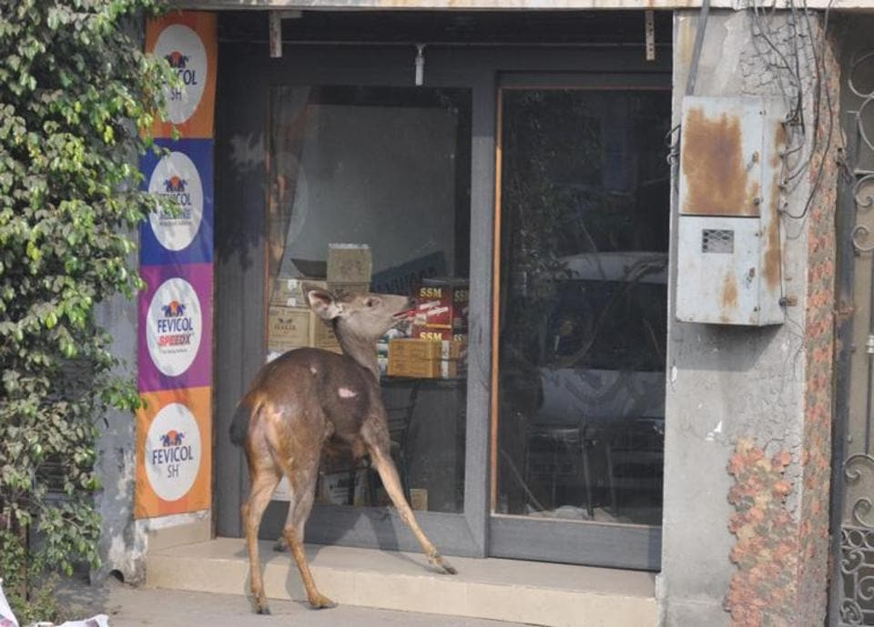 The deer near a shop in Amritsar on Wednesday. (Sameer Sehgal/HT)