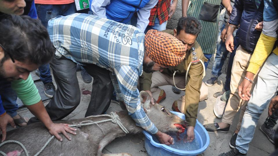 Officials from an animal welfare NGO, police, and local residents rescue a deer who strayed on Court Road in Amritsar on Wednesday. (Sameer Sehgal/HT)