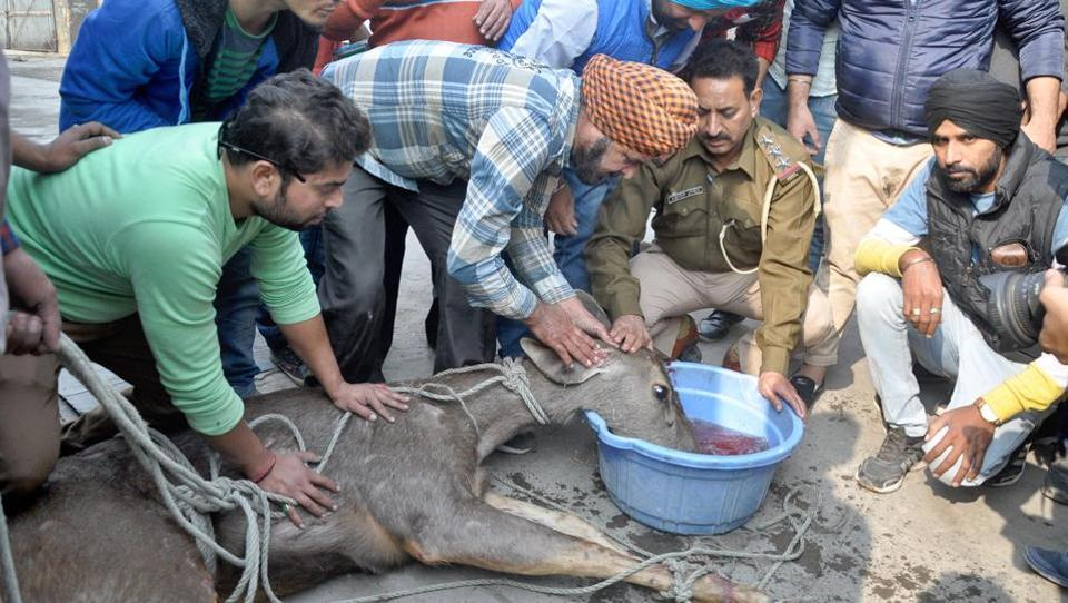 Officials from an animal welfare NGO and local residents rescue a deer who strayed on Court Road in Amritsar on Wednesday. (Sameer Sehgal/HT)