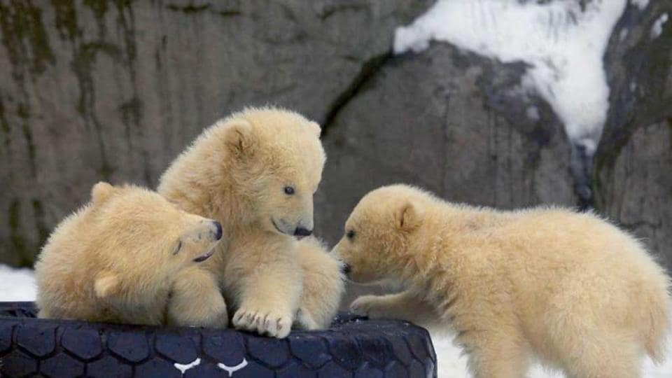 There is a 70% chance that the global polar bear population -- estimated at 26,000 -- will decline by more than 30% over the next 35 years.