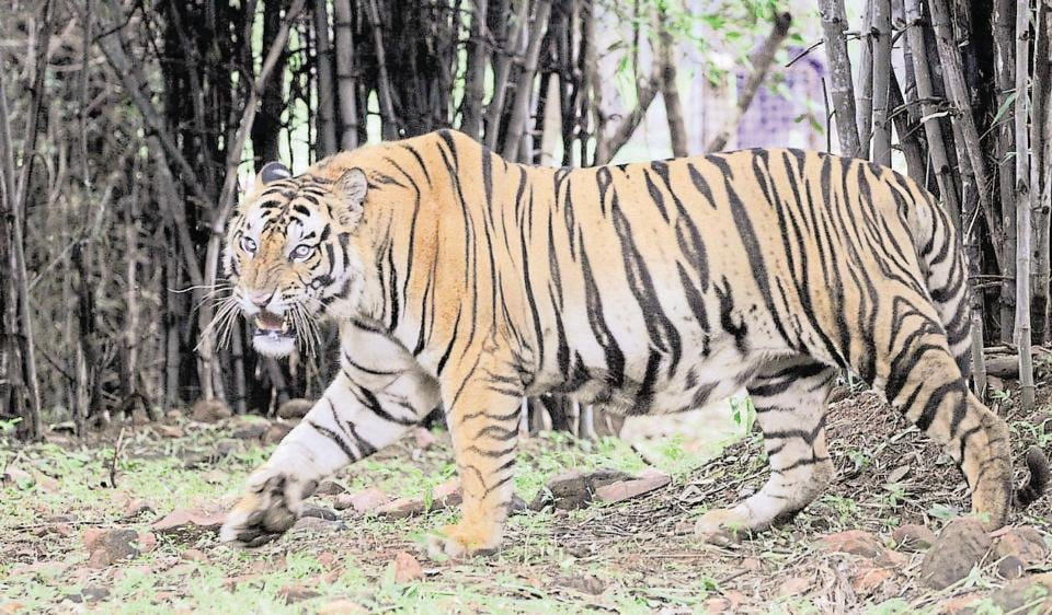 The forest where the tiger was killed is a part of tiger corridor.