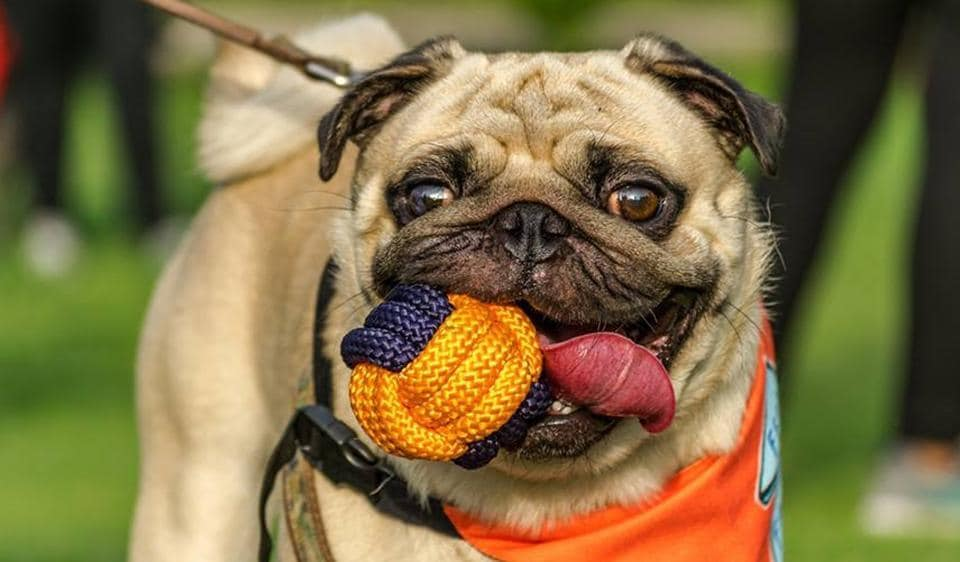A cute pug poses for a click with his favourite play ball.