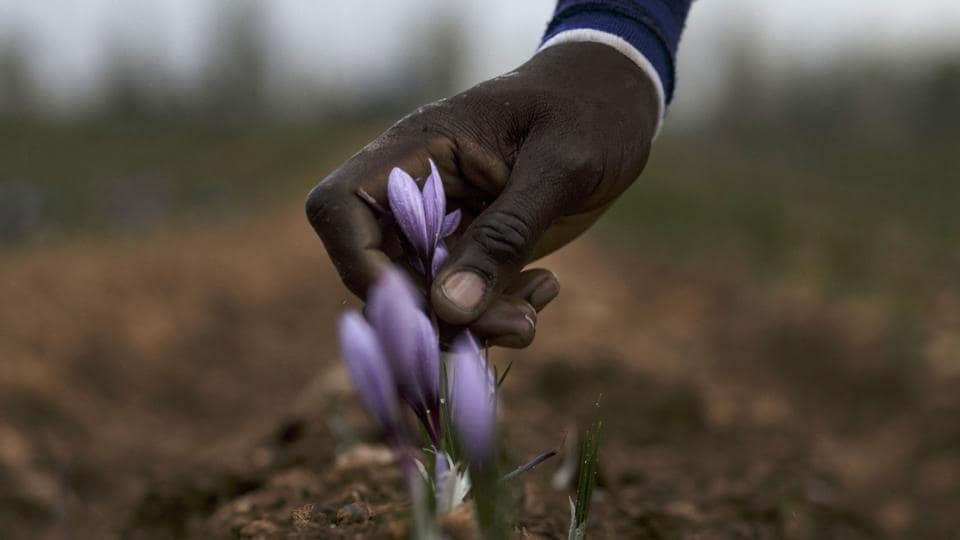 A harvester pulls up a saffron flower from its root at one of the Molineta de Minaya saffron company's plots in Minaya on November 4, 2016. On the arid, wind-swept plateaux of central Spain, saffron producers are reaping profits from a return to favour of the precious spice introduced by Arabs in the Middle Ages.