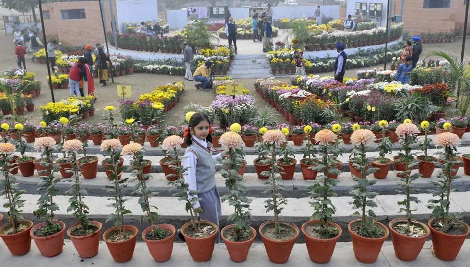 At the chrysanthemum show at PAU in Ludhiana. (Jagtinder Singh Grewal/HT)