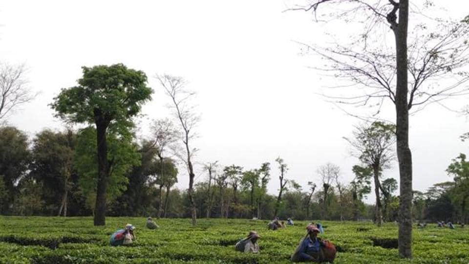 Tirrihannah Tea Estate in north Bengal suspended operations throwing about 1,500 workers out of jobs,  as they could not be paid as they are traditionally paid in cash.
