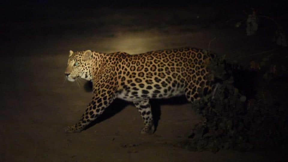 The leopard was first captured on camera on November 21 in the Yamuna Biodiversity Park, Delhi.