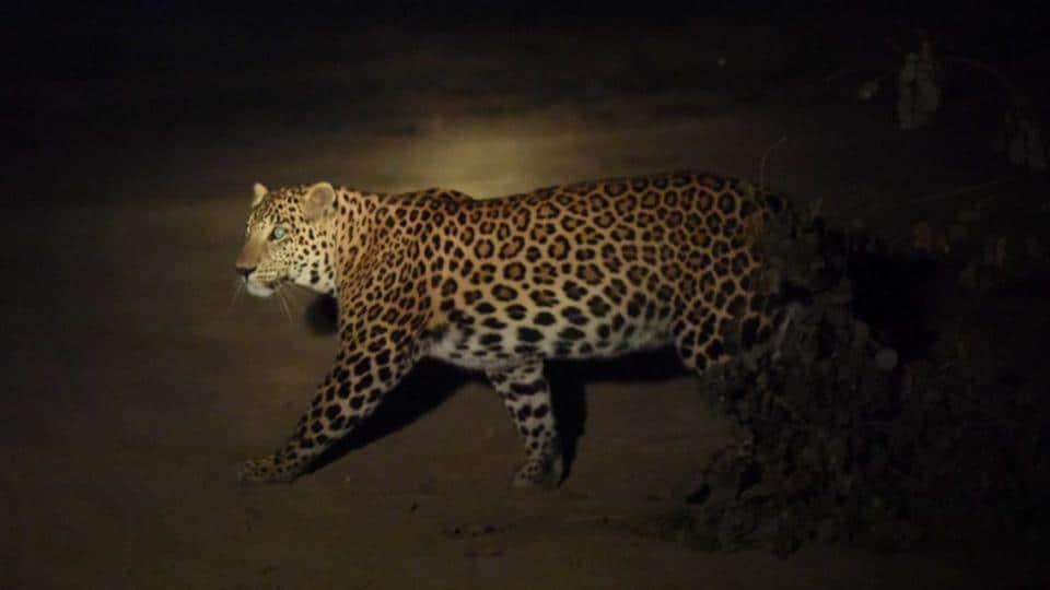 Leopard spotted in Delhi,Yamuna Biodiversity Park,Man-animal conflict