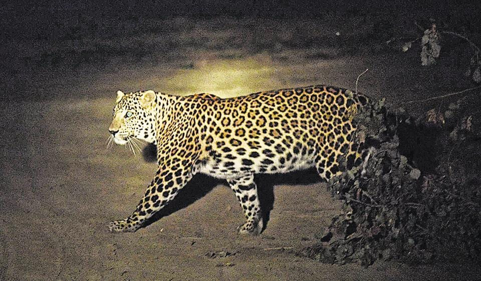 The leopard when it was caught on camera last month.