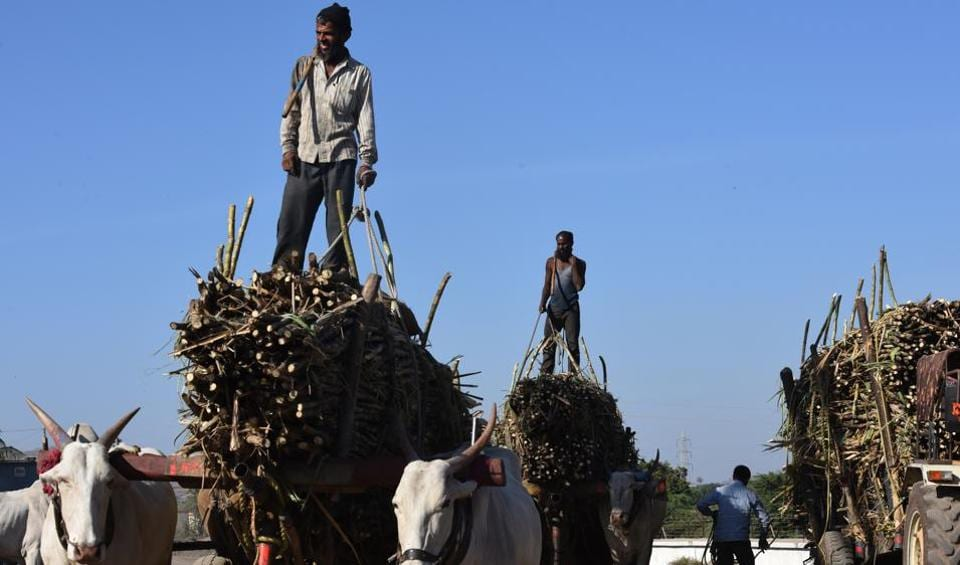 A labour brings sugarcane to Bhausaheb Thorat co-operative sugar factory in Sangamner taluka of Ahmednagar district. Nearly 22,000 farmers are members of the co-operative. It pays Rs2,500 for every tonne of sugarcane and has shelled out Rs34 crore in its first installment to farmers but many have not been able to withdraw the money.
