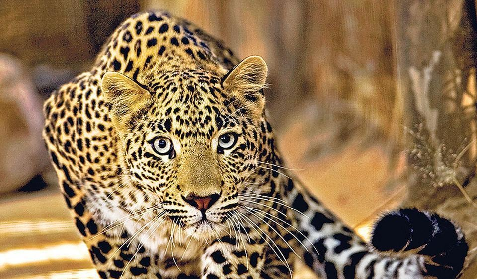 Ganpat was arrested while he was en route to Balaghat with a leopard skin.