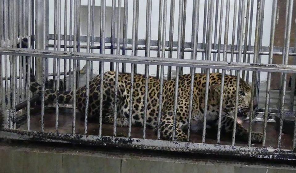 leopard,shivalik,yamuna biodiversity park