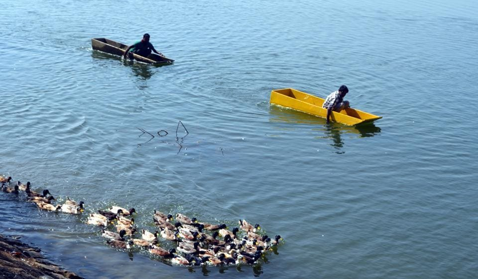 Indore Muncipal Corporation employees catch semi­-feral geese from Sirpur Lake.