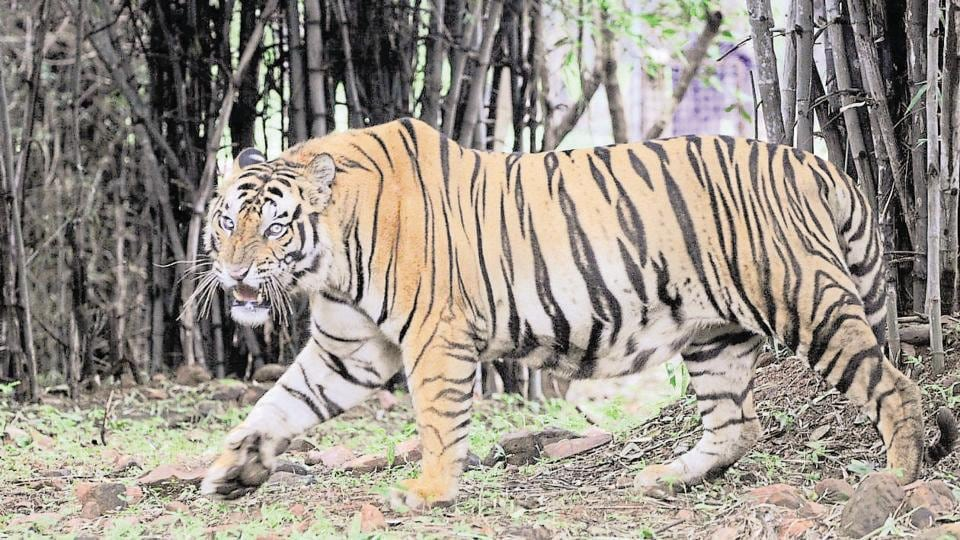Tigers and other animals have an aversion to medicinal plants and they will stay away from this belt, says Pilibhit's district magistrate.