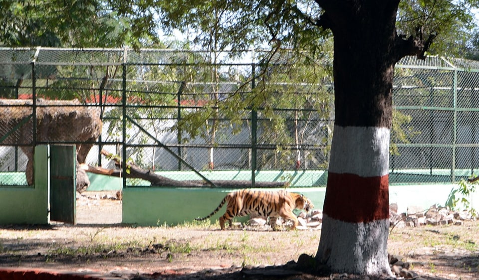 Tigress Jamuna walking back towards its enclosure from the buffer zone at Kamla Nehru Zoo in Indore on Monday.