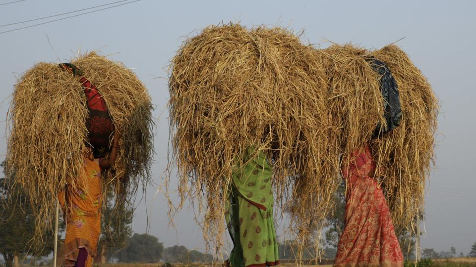 Women farmers carry straw on their heads in a field on the outskirts of Allahabad, India. Close to 80% of all working women of the country are employed in agriculture.