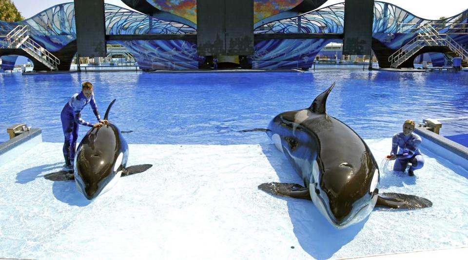 SeaWorld trainer Ryan Faulkner, left, with killer whale Melia, and Michelle Shoemaker, right, with Kayla work on a routine for a show at the Orlando, Fla., theme park.