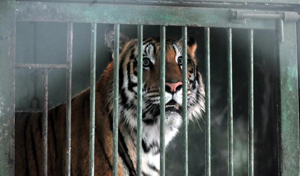 Jamuna,Royal Bengal tigress,Indore zoo