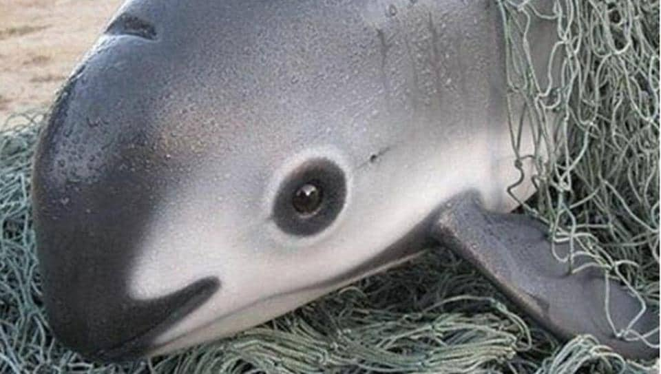 "The vaquita porpoise is found only in Mexico's Gulf of California and known as the ""panda of the sea"" because of the dark rings around its eyes."