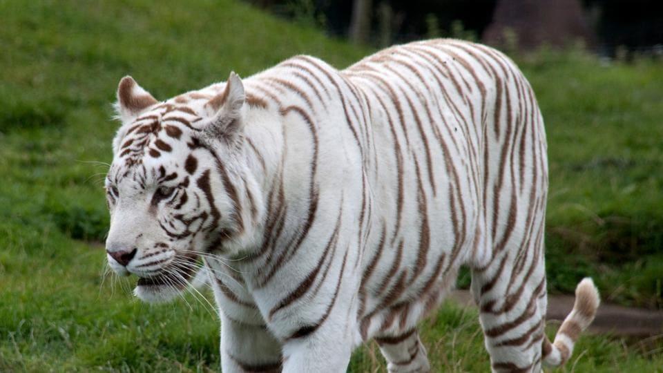 white tigress,Radha,Central Zoo Authority