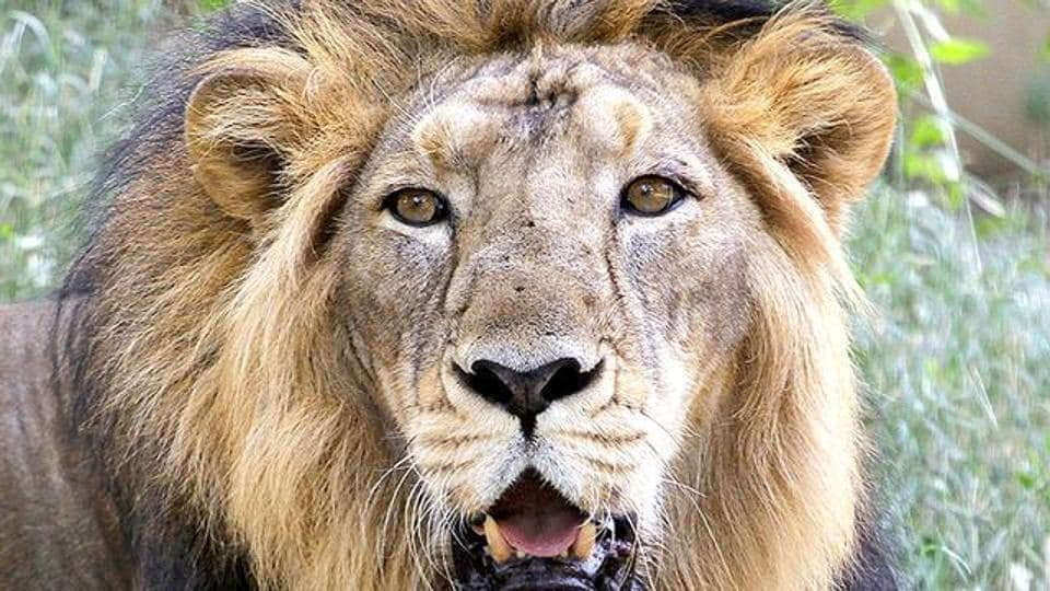 File photo of an Asiatic lion in Gujarat's Gir sanctuary.