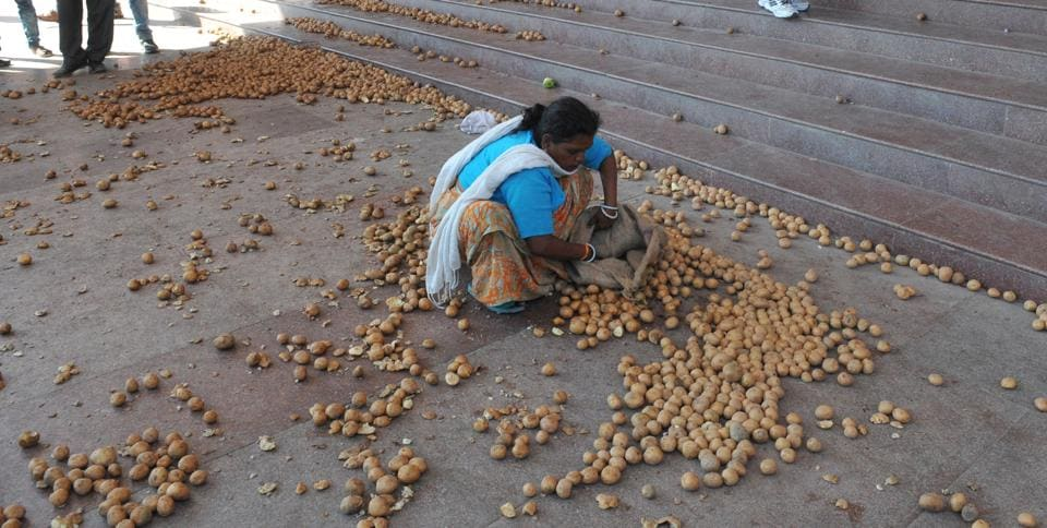 Indore, India - Dec. 16, 2016: A women employee picks up potatoes strewn on Collector office in Indore.