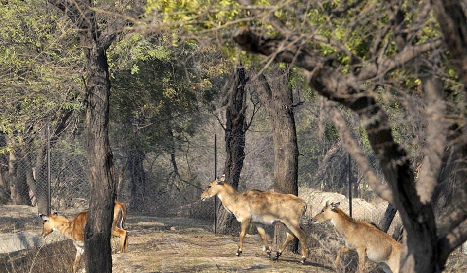 Boma capturing technique,MP forest department,Nilgai translocated in MP