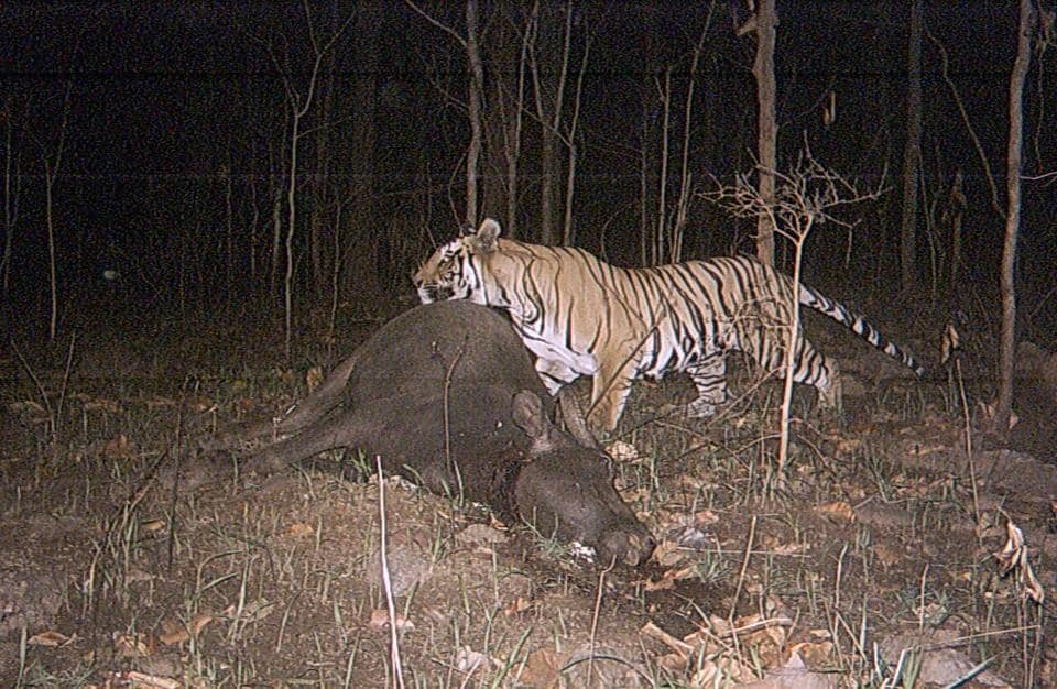 A tiger eats its kill at Palamu Tiger Reserve where the number of big cats has come down to three.