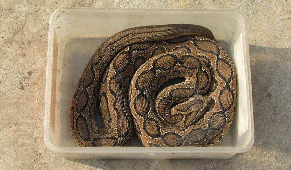 The viper was rescued from a park at a residential colony in Rohini by an NGO on Saturday