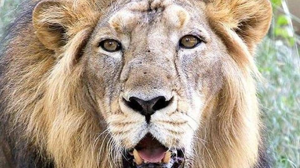 According to the official, the village is located about 10 kms from the Gir Wildlife Sanctuary, which houses 511 lions as per last census.