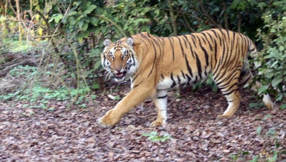 An HC bench said tigers, leopards and panthers posing a threat to human life should be captured alive with tranquilizer guns in the presence of veterinarians and released in a forest later.