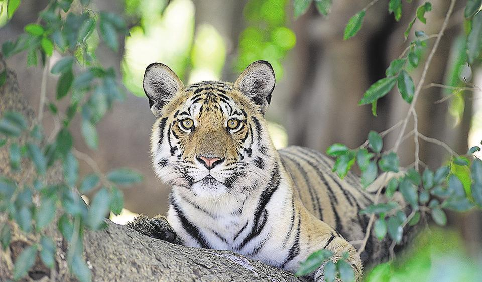 Madhya Pradesh has reported 29 tiger deaths this year, with Kanha alone reporting deaths of eleven tigers, the highest for any tiger reserve in the state so far.