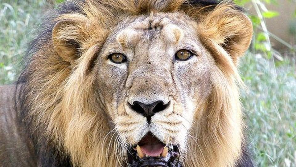 Activist Fayaz Khudsar had approached the apex court on the basis of a WII study, released in 2001, that Palpur-Kuno was best suited for Asiatic lions' relocation.