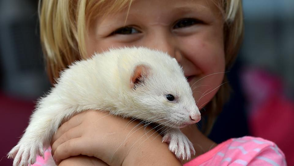 Four-year-old Sammi Smith shows off Fideo, her three-year-old male albino ferret. (Peter Parks/AFP)