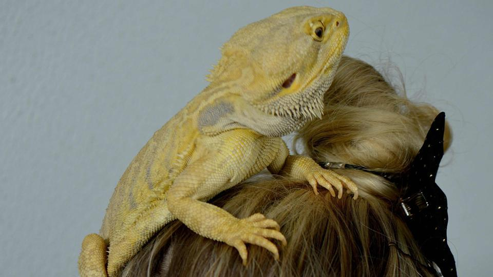 Brooke Winters with her pet 'Mario', a bearded dragon, sitting on her head at the pet shop where she works in Sydney.  (Peter Parks/AFP)