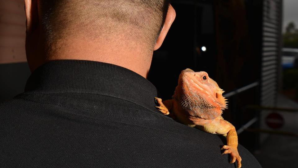 Reptile breeder Ernie Chan with a bearded dragon on his shoulder at a pet store in Sydney.  (Peter Parks/AFP)